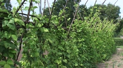 Pole beans, beanstalks growing in vegetable garden Stock Footage