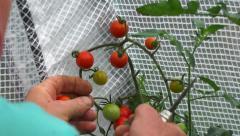 Vegetable garden 14 - Crop / harvest cherry tomatoes Stock Footage