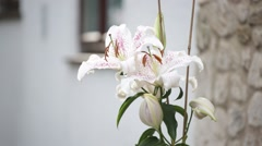 Giant Lilly with hand - stock footage