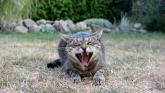 Mottled gray cat yawns in the garden Stock Footage