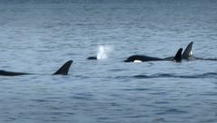 Orca, Killer Whale, Black Fish, Whale Stock Footage