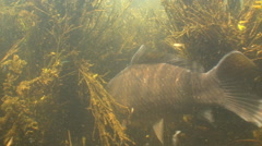 The Crucian swim  and eat grass  In  the Pond. Stock Footage