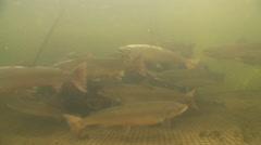 Salmon swim In the fishing net Arkistovideo