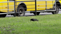 Crow on the grass Stock Footage