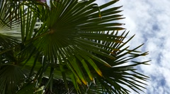 Palm Trees - 06 - Close Leaves - Sunny and Windy Day - stock footage