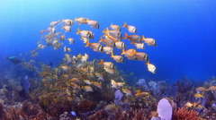 Coral and yellow fishes swim in the Caribbean Sea Stock Footage