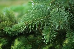 pine branch with raindrops - stock photo