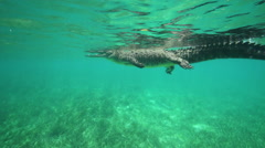 American Alligator Floats On The Water Surface. Underwater World Stock Footage