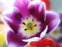Closeup of beautiful tulip Stock Photos