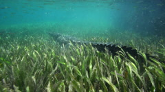 American Alligator Lurking At The Bottom. Underwater World Stock Footage