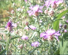 Humblebee on Greater Knapweed Stock Footage
