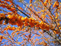 Branch of sea buckthorn berries - stock photo
