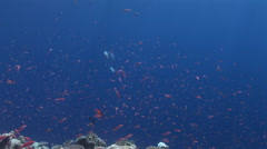 Schooling Anthias or Fairy Basslets Stock Footage