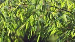Wet bamboo tree with moving leaves and branches during rain season in Thailand Stock Footage