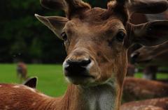 Fallow deer head. - stock photo