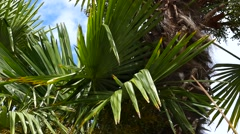 Palm Trees - 11 - Close Leaves - Sunny and Windy Day - stock footage