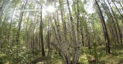 Green summer forest in eastern Siberia near Lake Baikal, birch and cedar Stock Footage