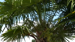Palm Trees - 14 - Close Leaves - Sunny and Windy Day Stock Footage