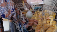 Ducklings in an Iron Cage for Sale Stock Footage