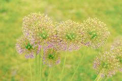 Allium Giganteum flowers - stock photo
