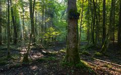 Natural deciduous stand of Bialowieza Forest in morning Stock Photos