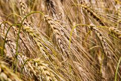 Cereal Plants, Barley, with different focus. Stock Photos
