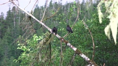 Crows and ravens, Ketchikan Alaska Stock Footage