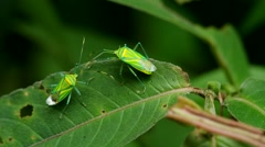 Stock Video Footage of hemiptera bugs hiding behind the leaf