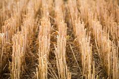 Rows of stubble harvested wheat field Stock Photos