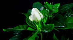 Gardenia flower blooming timelapse Stock Footage