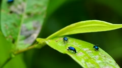 Vegetable flea beetles eat the green leaf Stock Footage