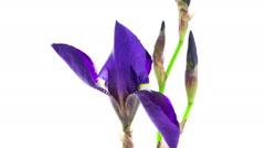 Dark blue iris flower blooming timelapse - stock footage