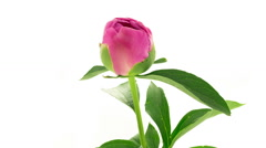 Pink peony Dr Alexander Fleming flower blooming timelapse Stock Footage