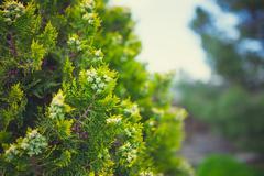 Cypress tree - stock photo