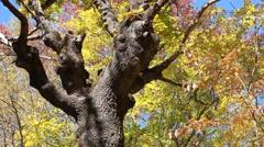 Beautiful autumn tree Stock Footage