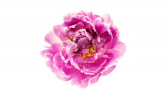 Pink peony flower blooming top view timelapse Stock Footage