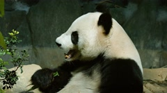 Giant Panda Munching Bamboo Leaves at the Zoo - stock footage