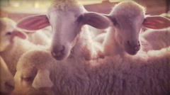 Vintage video. Lamb in the countryside of southern Italy. Super 8Mm - stock footage