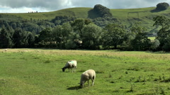 Three sheep grazing in a field next to Peak District hill. Stock Footage
