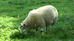 Lone sheep grazing in a field. - stock footage