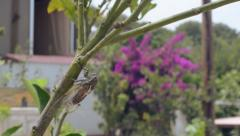 Noisy Sing cicada (Cicadidae/ Cicadomorpha) Stock Footage