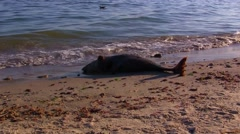 Dead dolphin lies on the shore Stock Footage