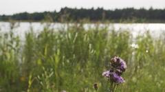 Purple rural cornflowers on field Stock Footage