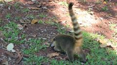 Quati, Coati, Nasua Nasua, South America. Iguazu Falls Park. Stock Footage