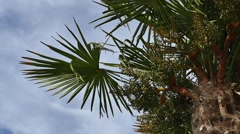 Palm Trees - 24 - Trunks and Leaves - Sunny and Windy - stock footage