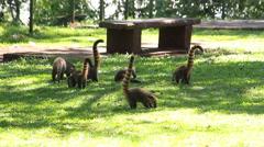 Group of Quati, Coati, Nasua Nasua, South America. Iguazu Falls Park. Brazil Stock Footage