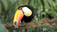 Toucan (ramphastos toco), bird, forest. Tropical. - stock footage