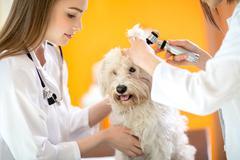 Ear examination of Maltese dog in vet clinic - stock photo