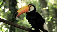 Toucan (ramphastos toco), bird, forest. Tropical. Stock Footage
