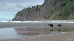 Oregon Coast Dogs Playing Stock Footage